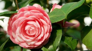 Chiswick House Camellia Festival, London