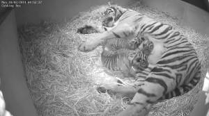 ZSL London Zoo – tigers born at Tiger Territory