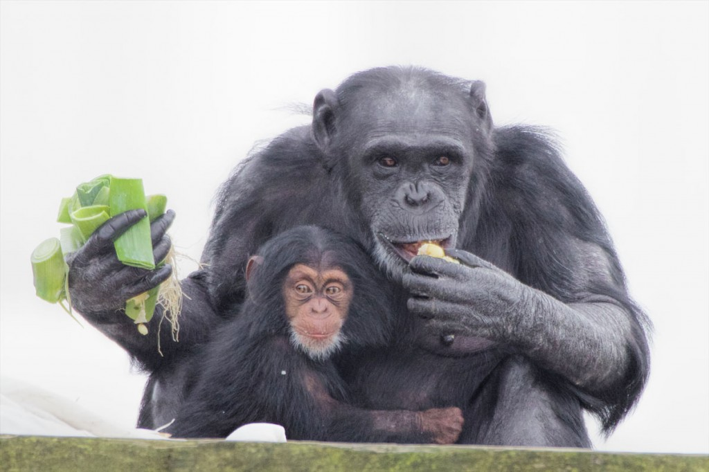 Chimpanzees Cherri and baby Thelma Images © Monkey World – Ape Rescue Centre