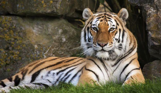 Tiger profile by Tony Gardner