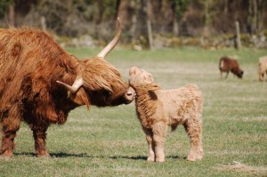 Highland_and_calf cotswoldfarmpark