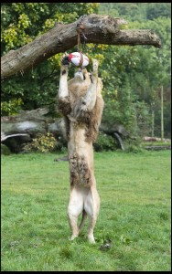 Lion-out - Klaus the lion leaps for the rugby ball at Longleat PIC BNPS