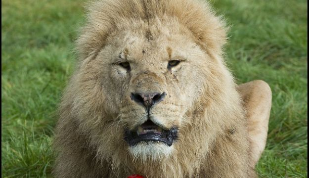 World Cup lion-out for Longleat's big cats