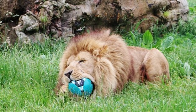 Longleat's Pride gives roaring support to England