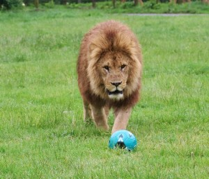 Mine - Simba approaches his football at Longleat