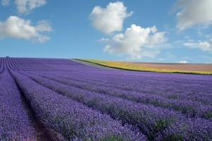 Hitchin Lavender, Hertfordshire