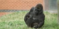 Critically endangered gorilla born at Twycross Zoo