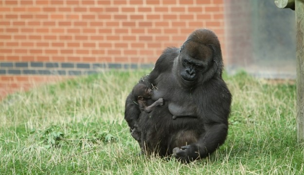 Critically endangered gorilla born at Twycross Zoo