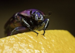 A Purple Jewel Beetle Scales a Chunk of Orange