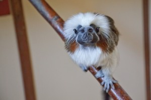 Cotton Top Tamarin, courtesy of Rob Price Photography