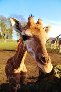 Close up of Evan the baby giraffe at Longleat Safari Park PIC IAN TURNER
