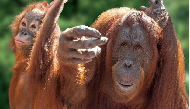 MONKEY WORLD MOVES INFANT ORANG-UTAN TO EUROPES ONLY ORANG-UTAN CRÈCHE WITH VIP STATUS THROUGHOUT THE JOURNEY