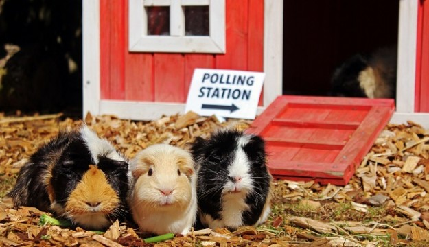 Guinea Pigs test out Longleat Miniature Polling Station