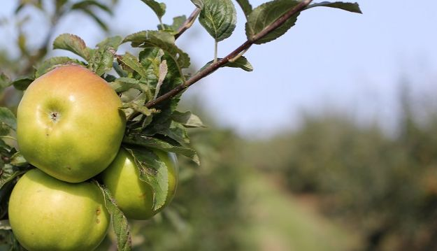 Discover the National Fruit Collection in the heart of Kent
