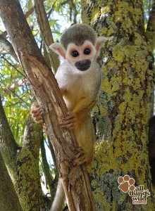 Squirrel monkey baby end of August 2017 - Jack - c