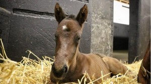 Irish National Stud welcome their first foal of 2018