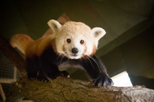 Woburn Safair Red Panda at WSP