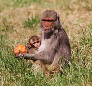 Rhesus monkey and baby enjoying an ice lolly treat at Longleat PIC Ian Turner