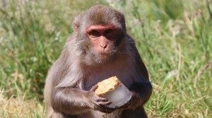 Longleat's 'Artic' Monkeys chill out with ice lolly treats