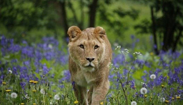 Lions' Pride in bumper Bluebell blooms