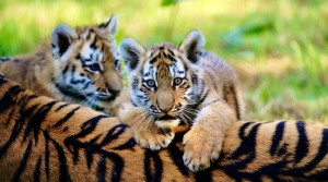 Endangered Tiger Cubs Enjoy First Taste of The Great Outdoors