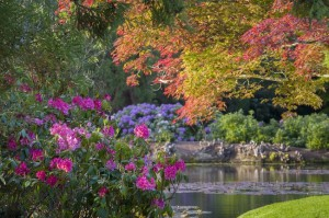 Rhododendrons in May at Sheffield Park, East Sussex