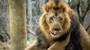 Go #WildatHome this half term with London and Whipsnade Zoos
