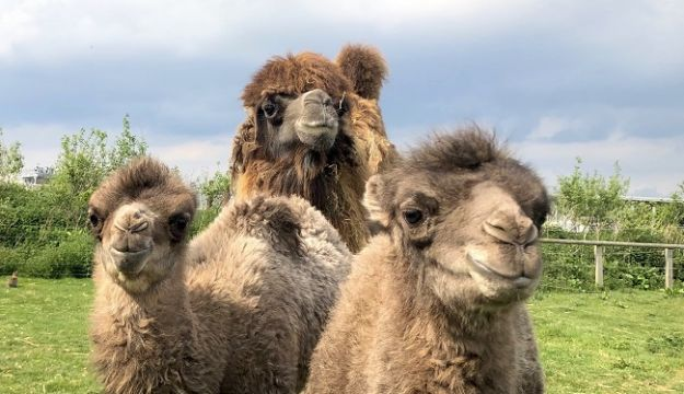 Double Baby Camel arrival at Yorkshire Wildlife Park