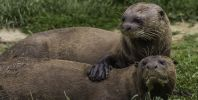 Giant otters at Yorkshire Wildlife Park enjoy a refreshing dip as they celebrate World Otter Day