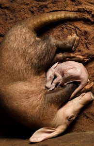 Baby aardvark curled up with mum at Longleat