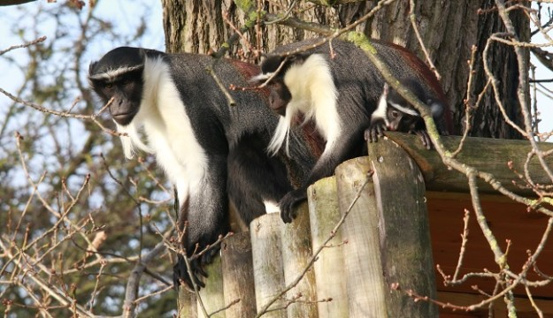 Award-winning Yorkshire Wildlife Park names critically endangered new baby Roloway monkey Kumasi, the first of its kind in the UK