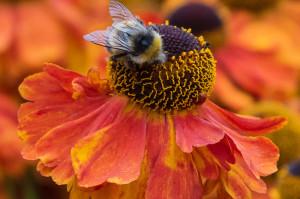 Helenium 'Sahin's Early Flowerer' with bee